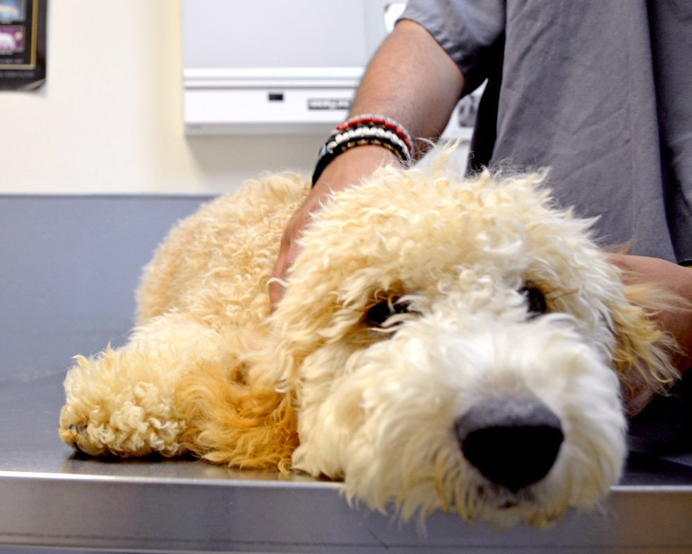 Veterinary Care for Dogs Including Preventative Wellness Care
